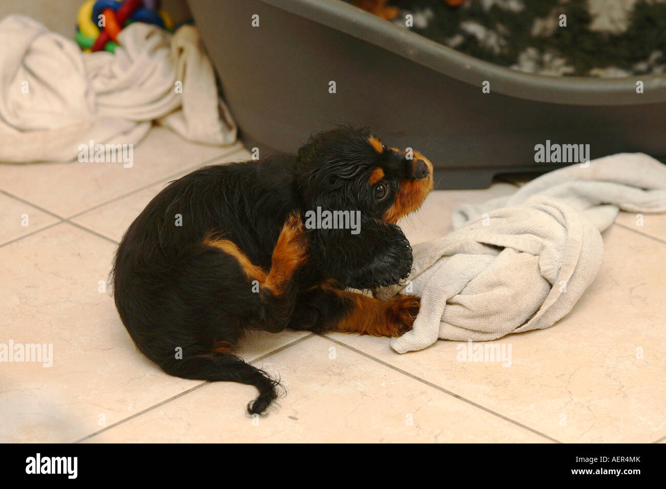 Cavalier King Charles Spaniel Puppy Black And Tan 10 Weeks Stock
