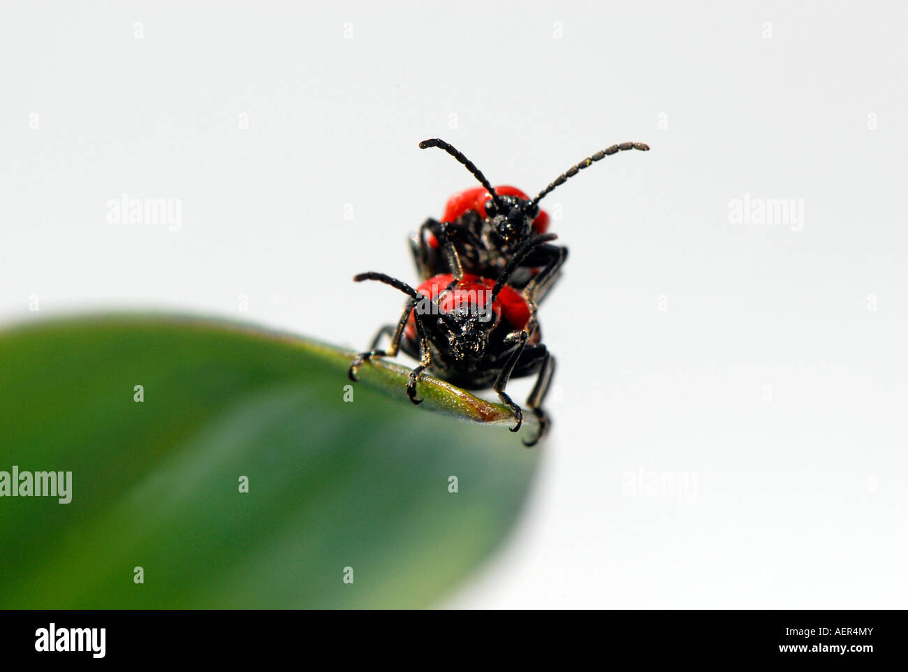 Two Bugs On A Leaf Stock Photos Amp Two Bugs On A Leaf Stock