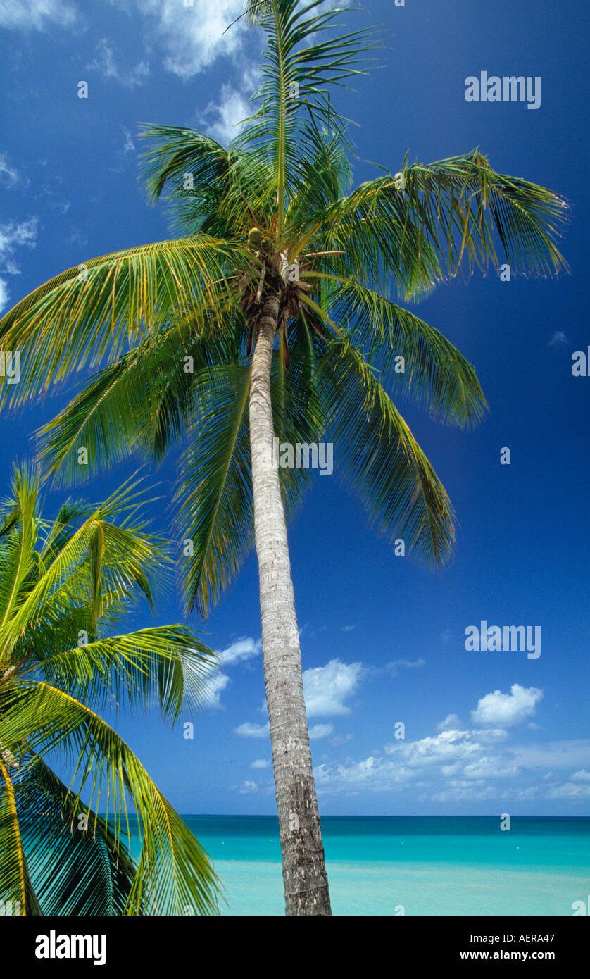 palmtrees at beach island of grenada archipelago of the lesser antilles caribbean - Stock Image