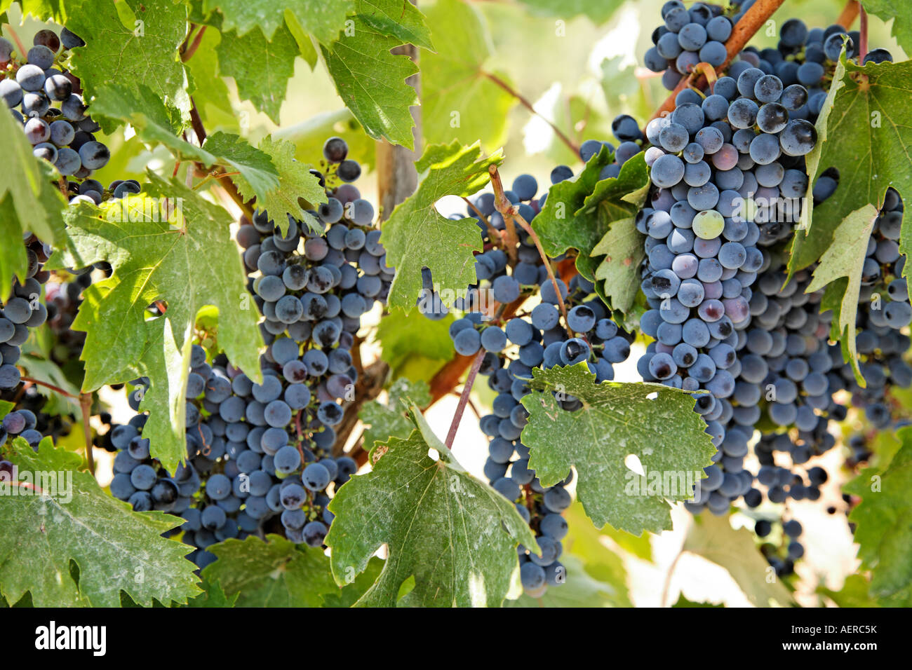 Black Grapes On Vines Tuscany Italy Europe - Stock Image