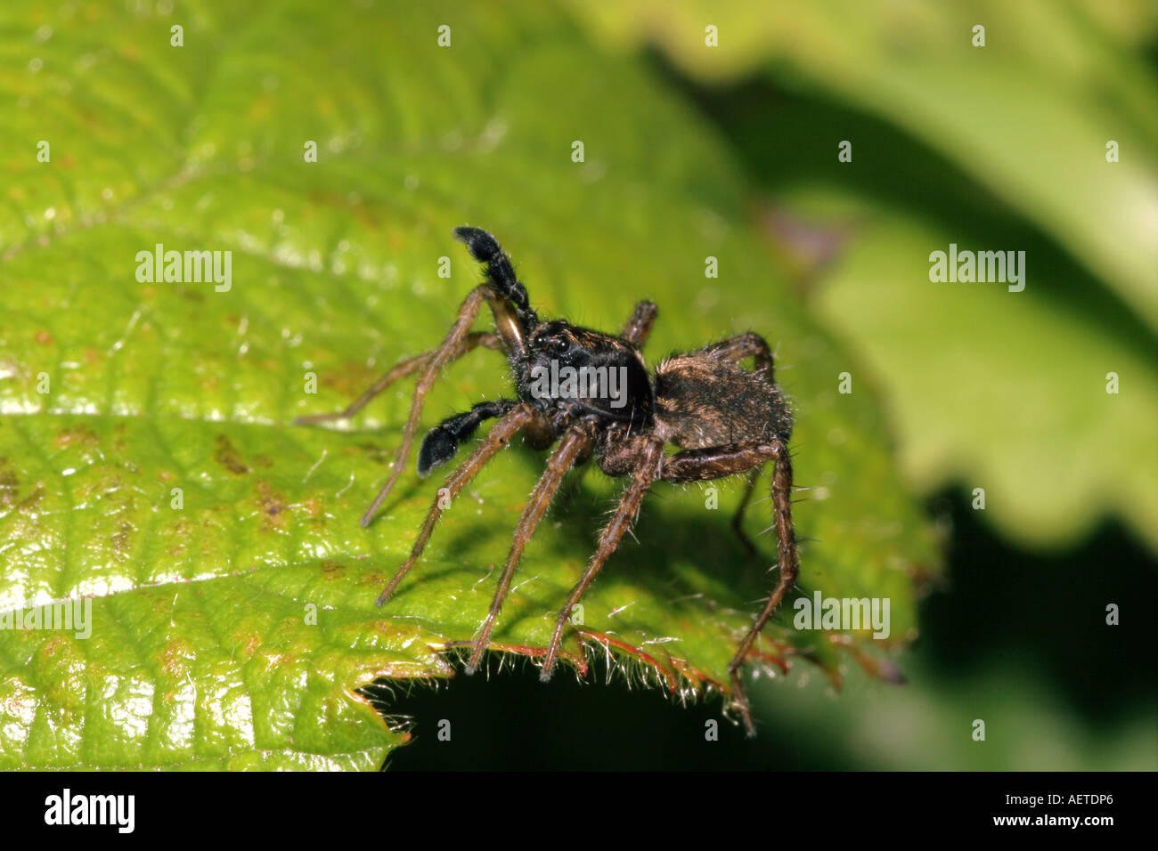 Spotted wolf spider Pardosa amentata Lycosidae male waving his palps in courtship UK - Stock Image