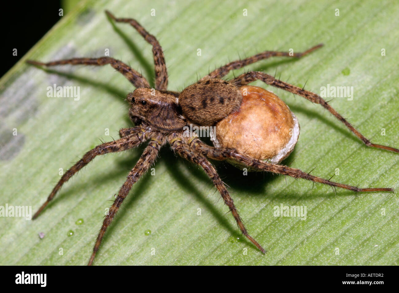 Spotted wolf spider Pardosa amentata Lycosidae carrying her egg sac which clearly shows the white seam UK - Stock Image