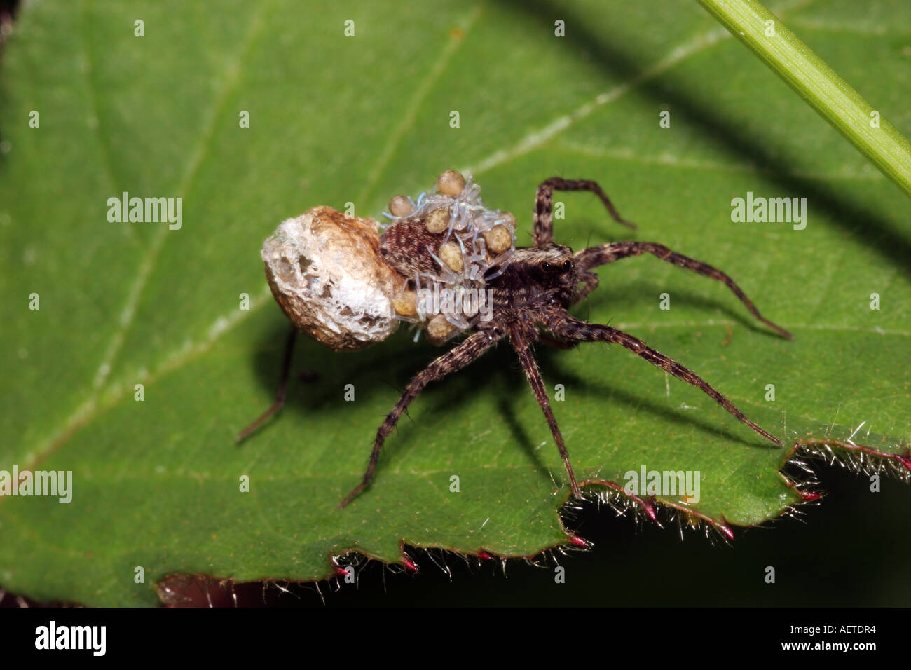 Spotted wolf spider Pardosa amentata Lycosidae with babies hatching from her egg sac and riding on her back UK - Stock Image