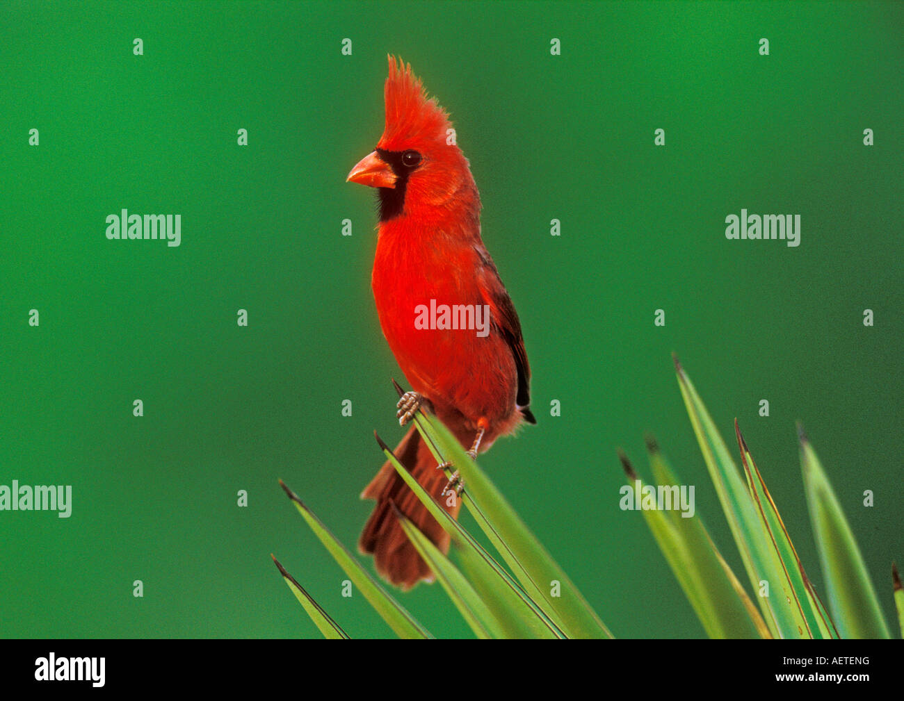 Northern Cardinal Cardinalis cardinalis male on Trecul Yucca Yucca treculeana Starr County Rio Grande Valley Texas - Stock Image