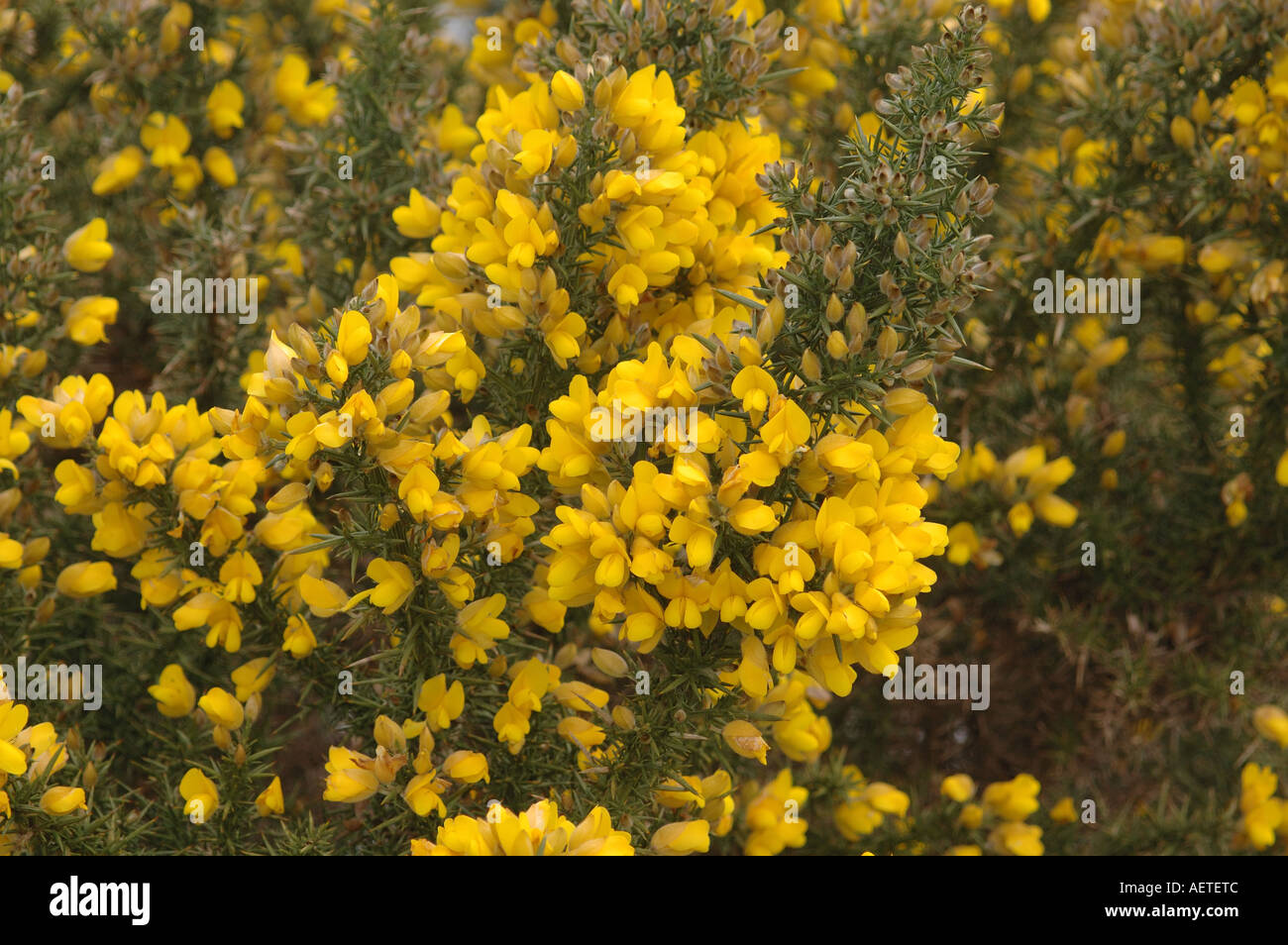 Pea Like Yellow Flowers Stock Photos Pea Like Yellow Flowers Stock
