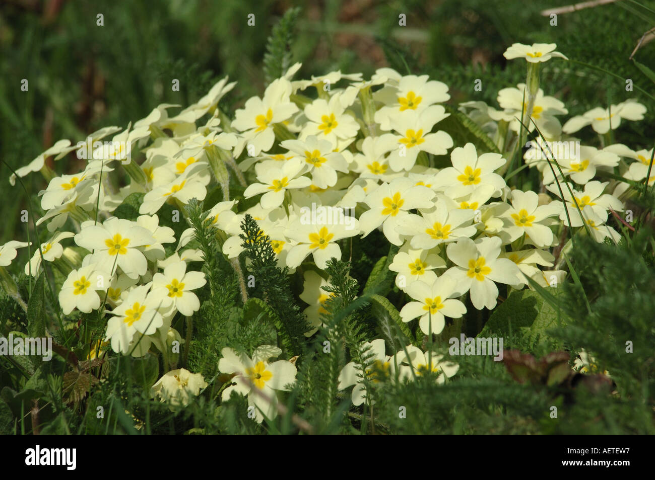 Pale yellow flowers of the primrose stock photo 7858966 alamy pale yellow flowers of the primrose mightylinksfo