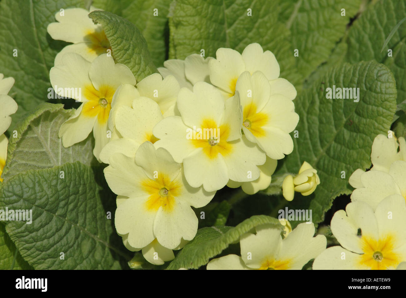 Pale yellow flowers of the primrose stock photo 7858968 alamy pale yellow flowers of the primrose mightylinksfo Choice Image