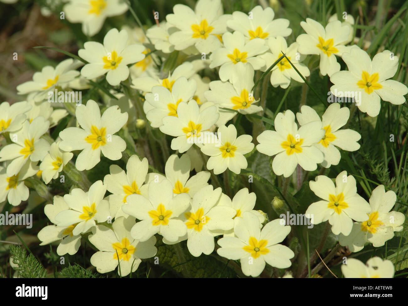 Pale yellow flowers of the primrose stock photo 7858970 alamy pale yellow flowers of the primrose mightylinksfo Choice Image