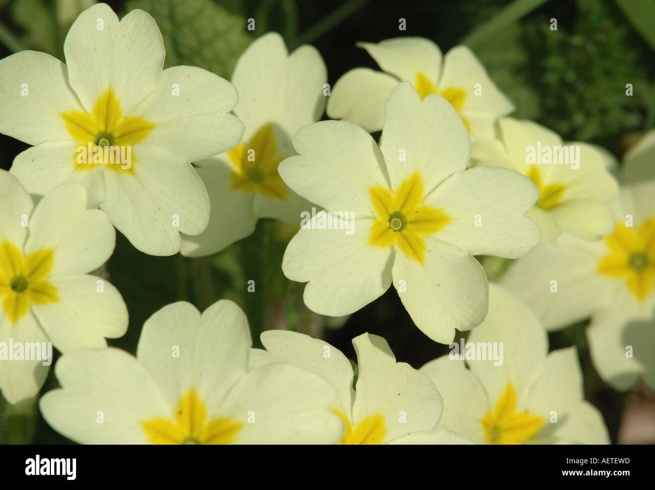 Pale yellow flowers of the primrose stock photo 7858972 alamy pale yellow flowers of the primrose mightylinksfo