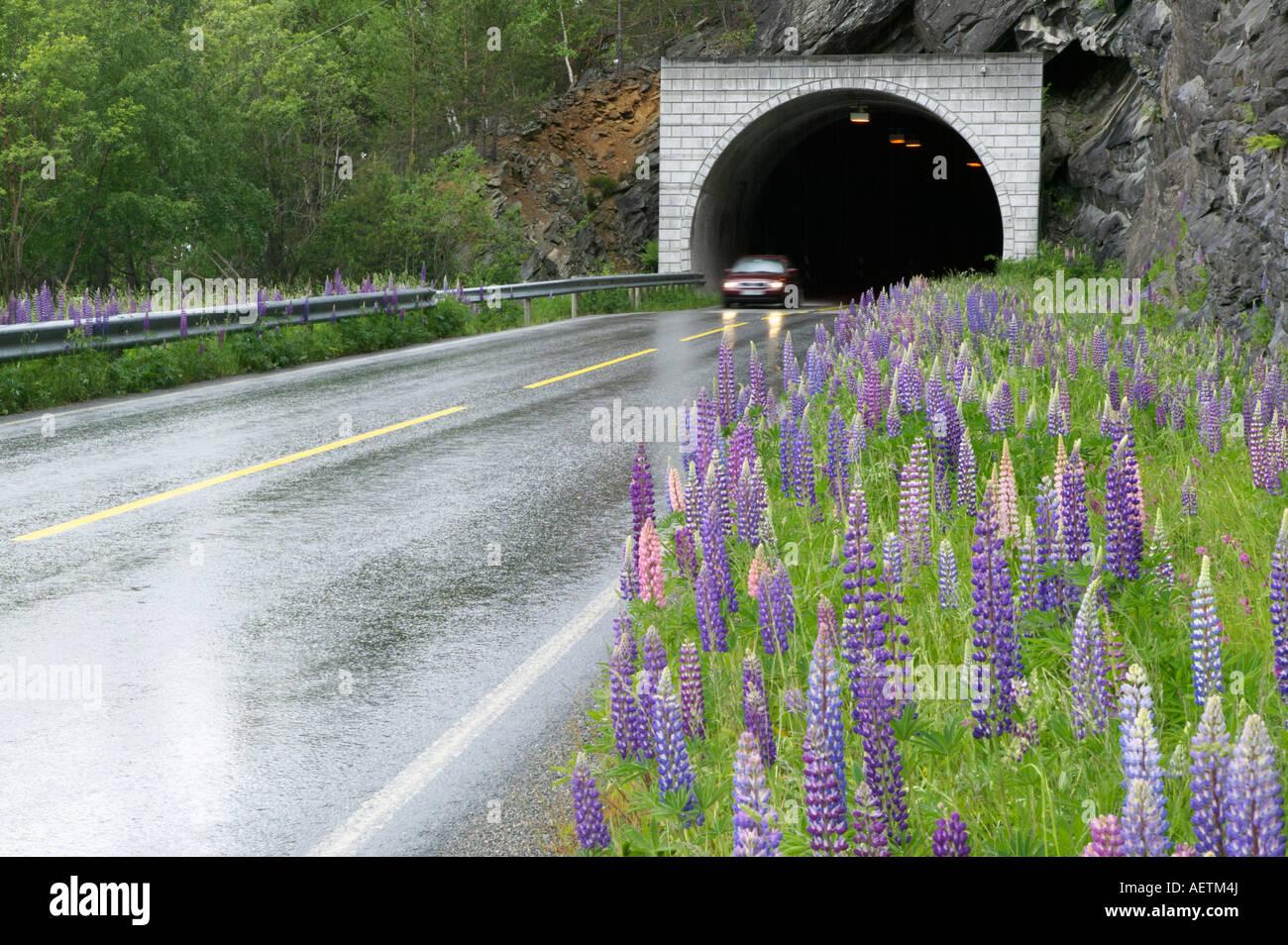 Lupins on the roadside before Overatunnelen Nordal More og Romsdal Norway - Stock Image