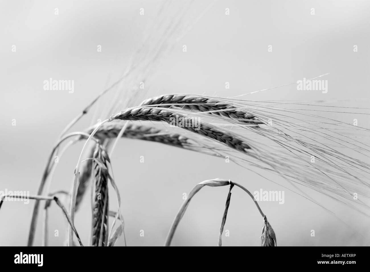 Black and White Wheat in a field - Stock Image