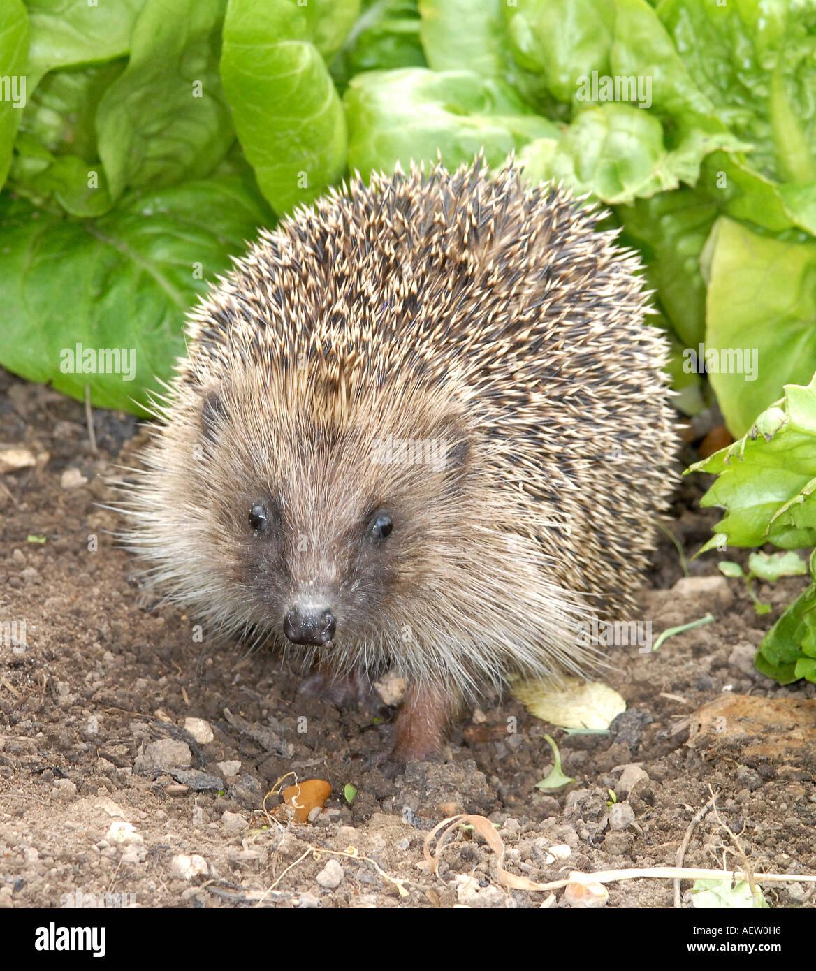 Hedgehog Erinaceus europaeus spiney coated mammal - Stock Image