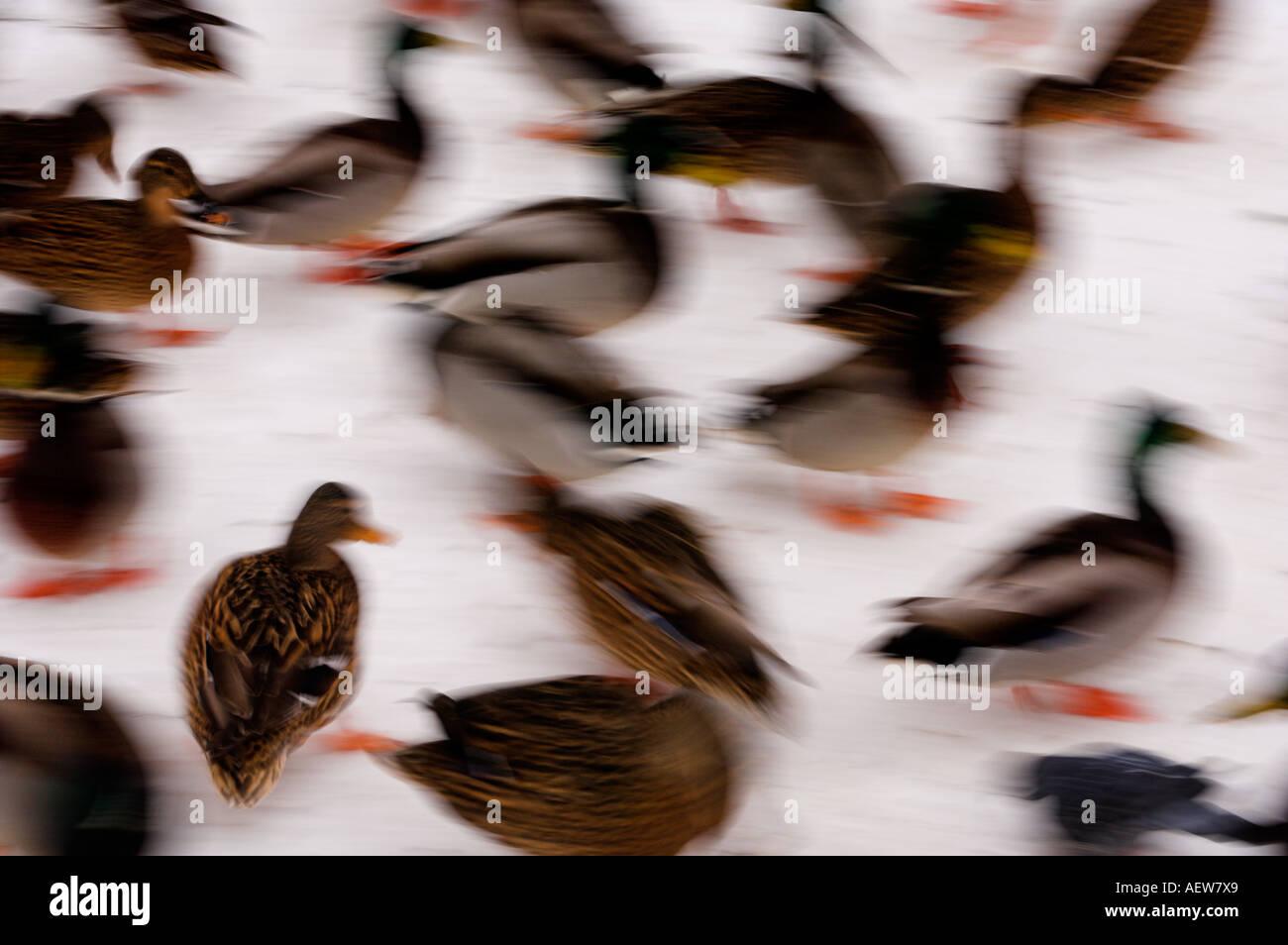 Mallard Anas platyrhynchos - Stock Image
