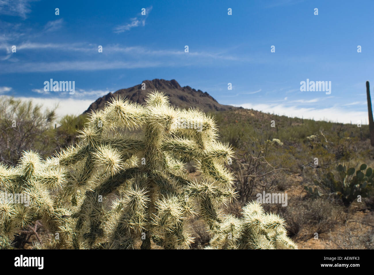 Chain Fruit Cholla Opuntia fulgida Saguaro National Park - Stock Image