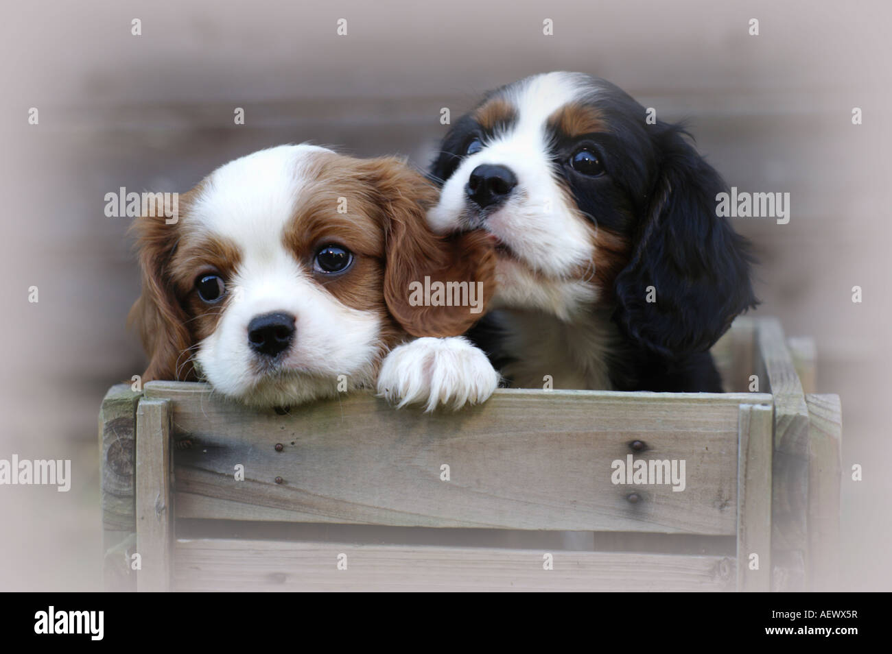 Two Cute Cavalier King Charles Spaniel Puppies In A Crate With One Stock Photo Alamy