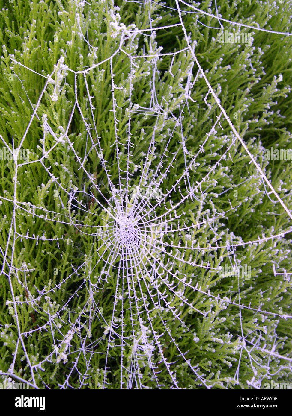 Spiders web hi-lighted by frost. - Stock Image