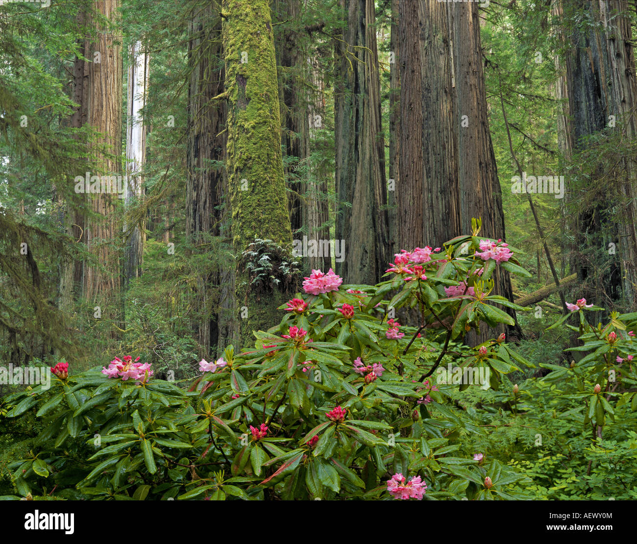 Rhododendrons grow among the giant redwood trees in Redwoods National Park in northern California - Stock Image