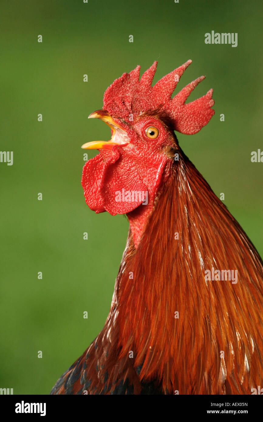 Cockerel crowing head shot - Stock Image