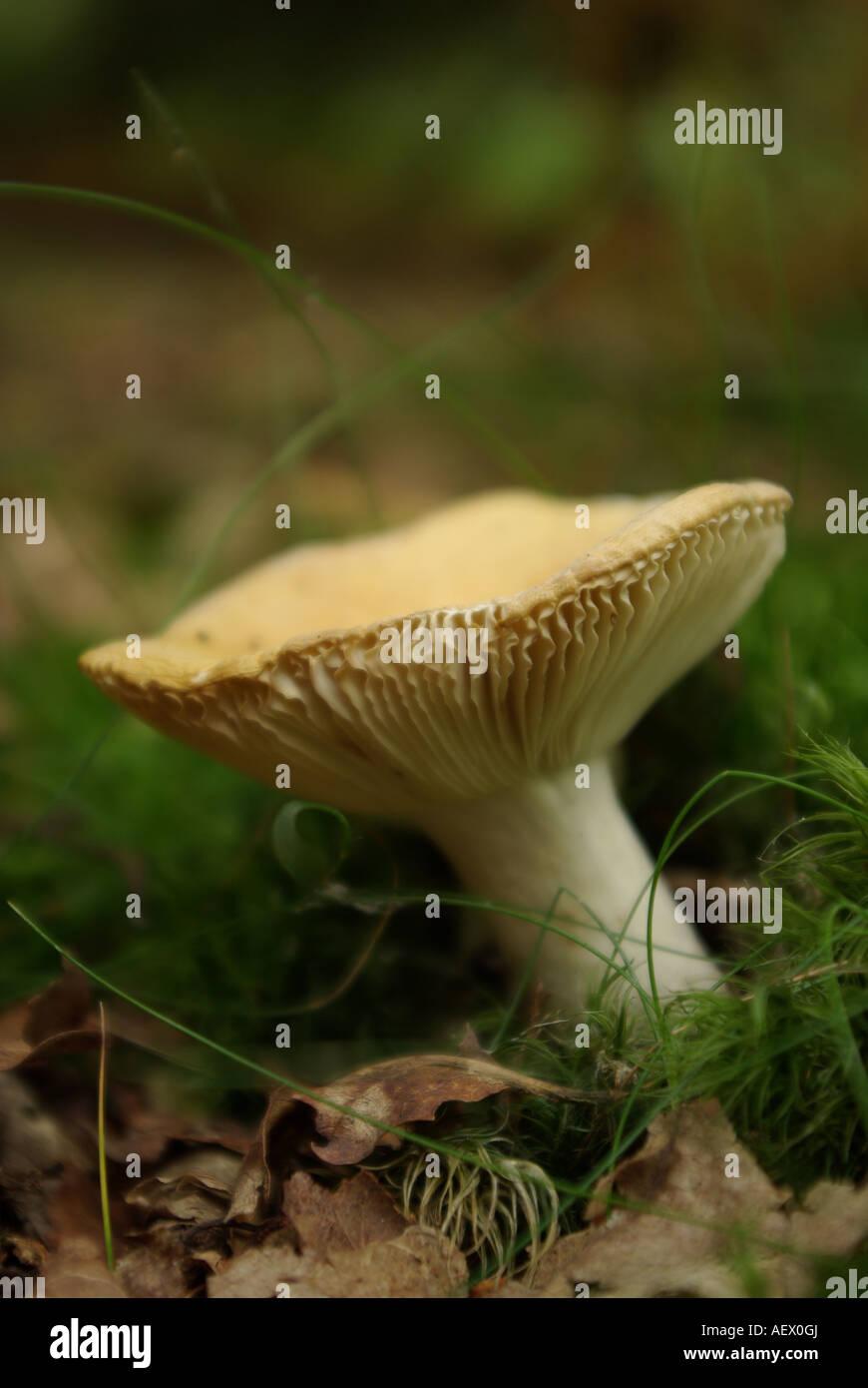 Mushroom in Autumn woodlands - Stock Image