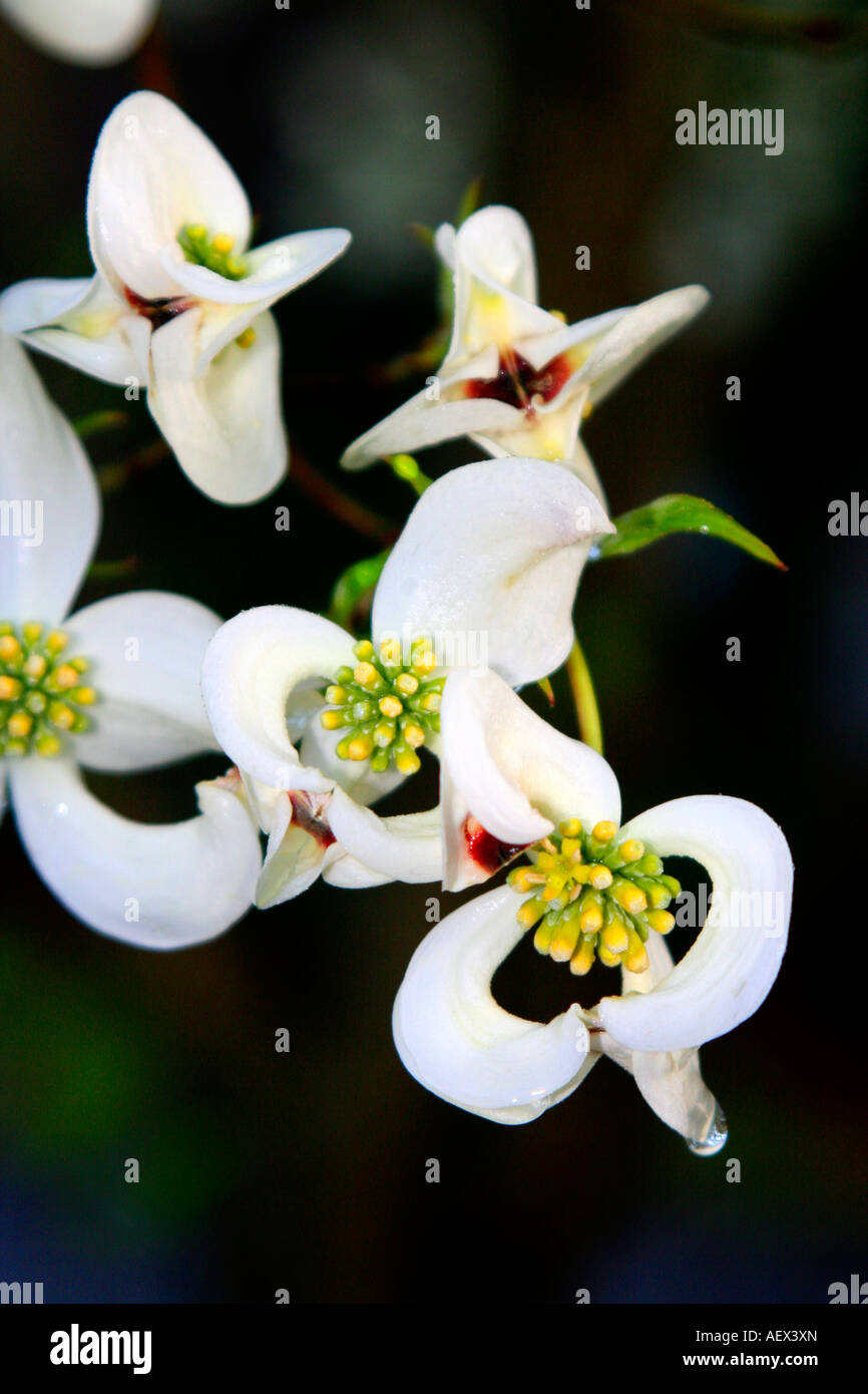 Dogwood tree flowers ready to bloom - Stock Image