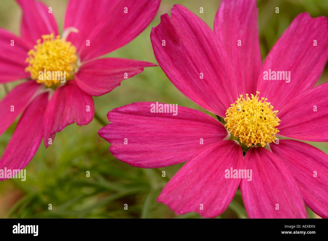 Cosmos bipinnatus 'sensation pink' flower close up - Stock Image