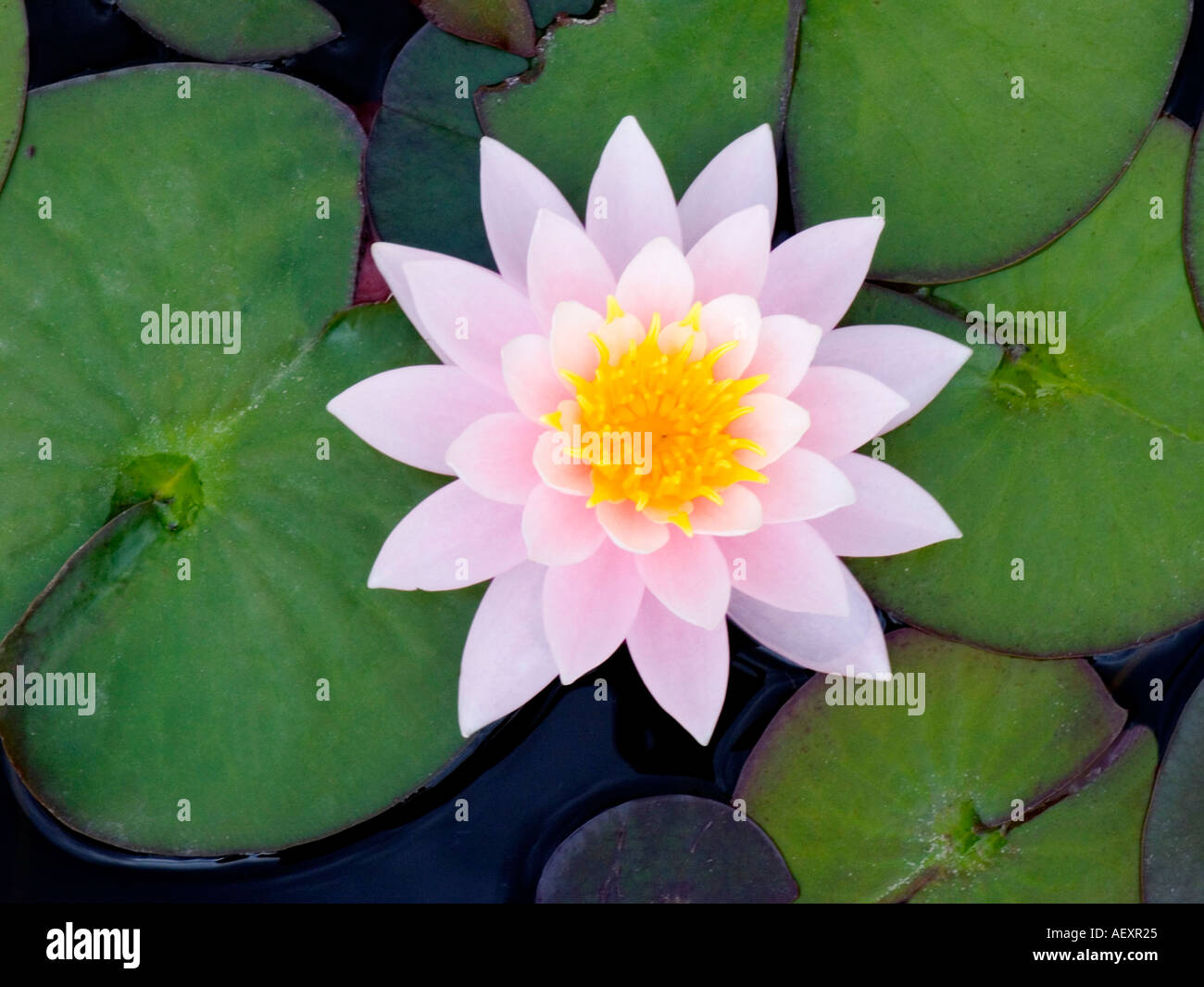 Water lily lilies in pond pool water wild flower abstract concept water lily lilies in pond pool water wild flower abstract concept idea background ecology ecosystem environment nature natural b izmirmasajfo