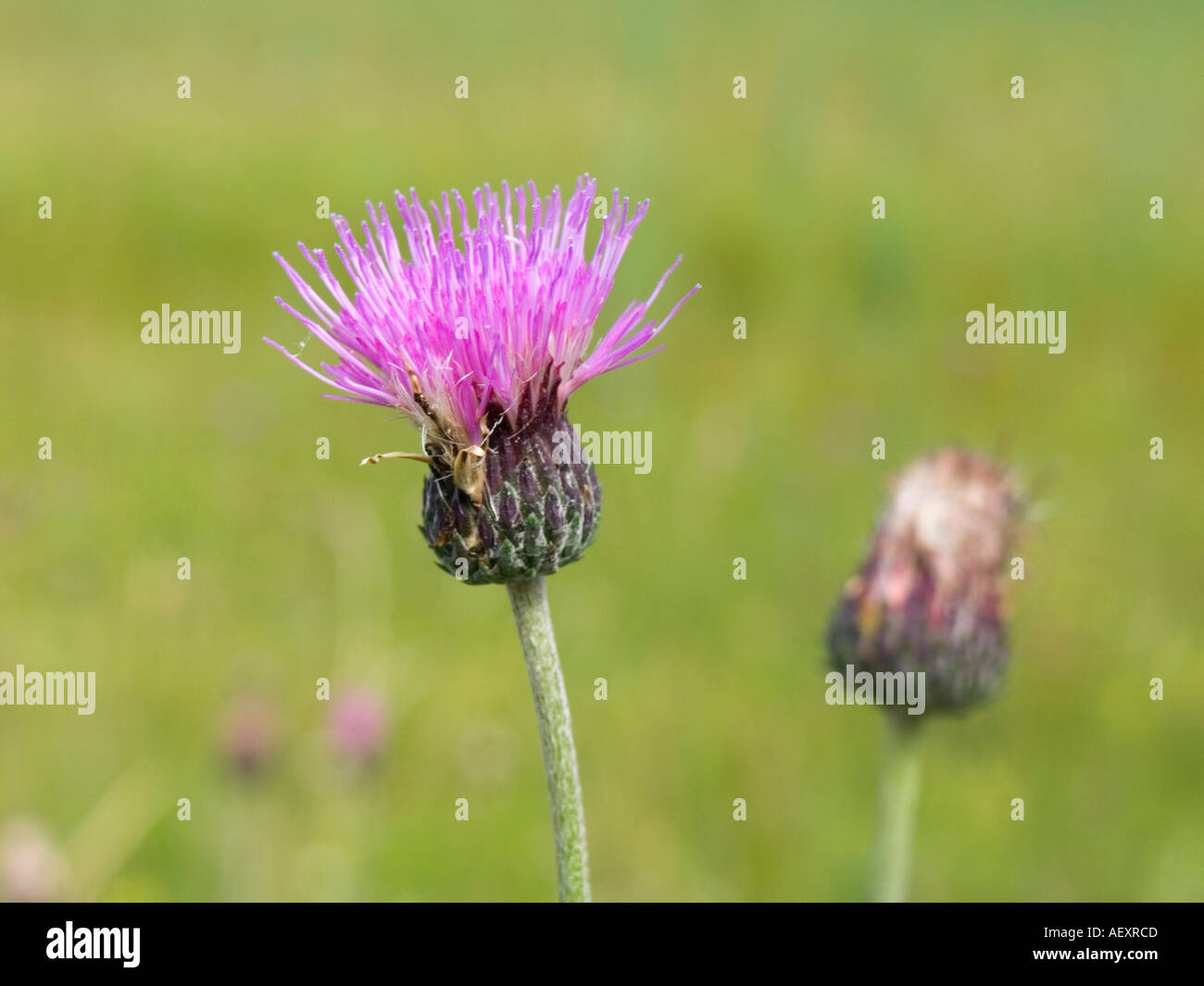 Purple Spiky Plant Stock Photos Purple Spiky Plant Stock Images