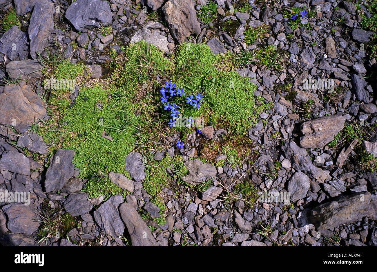 Swizerland walking in the bernese oberland alpine flowers in july walking in the bernese oberland alpine flowers in july izmirmasajfo