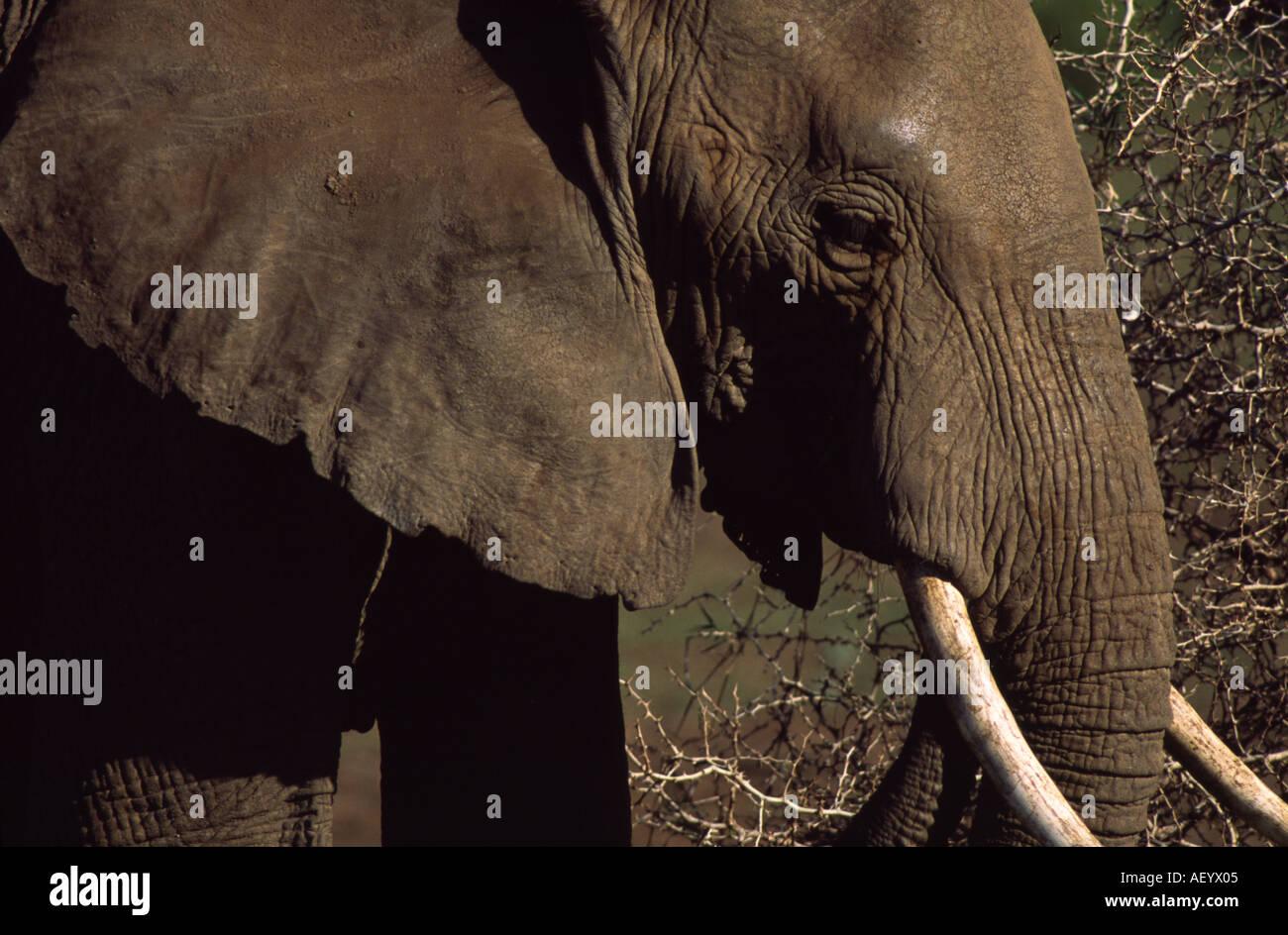 African Elephant Lake Manyara National Park Tanzania - Stock Image