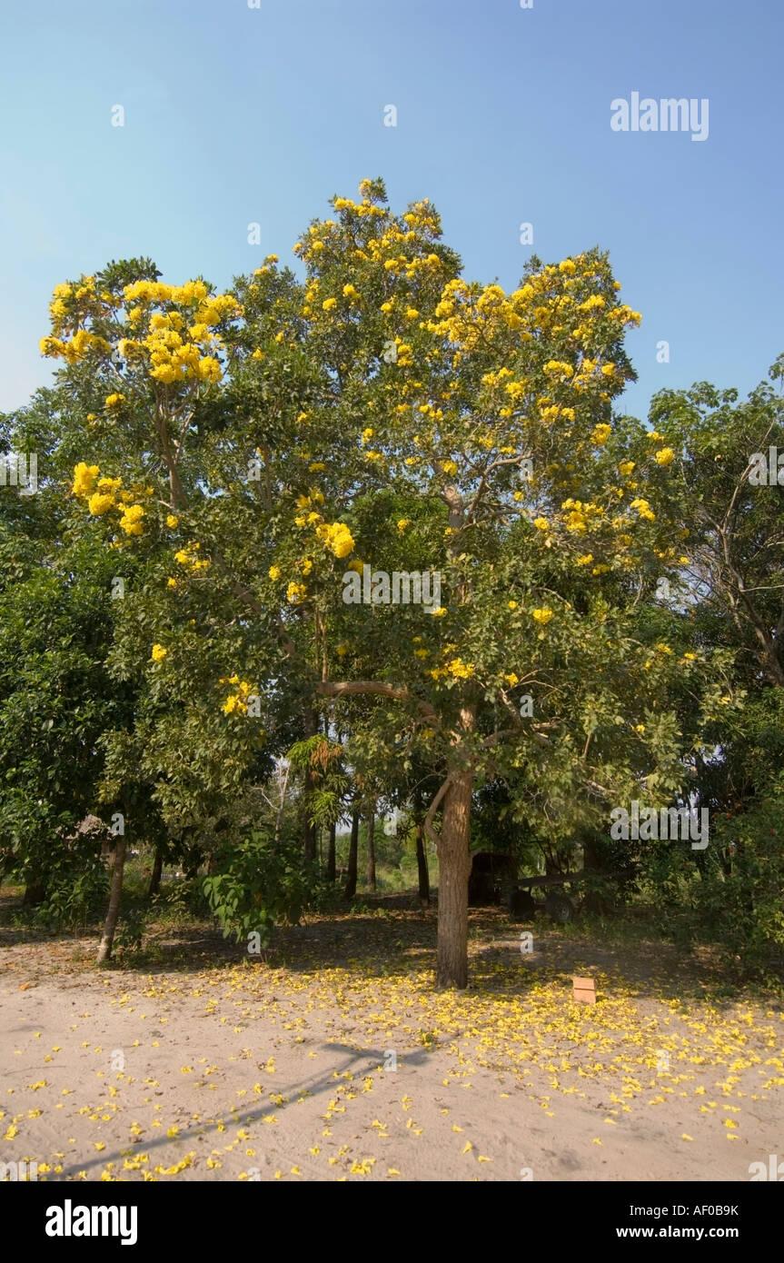 Pau D'Arco Pará fonte: c8.alamy.com