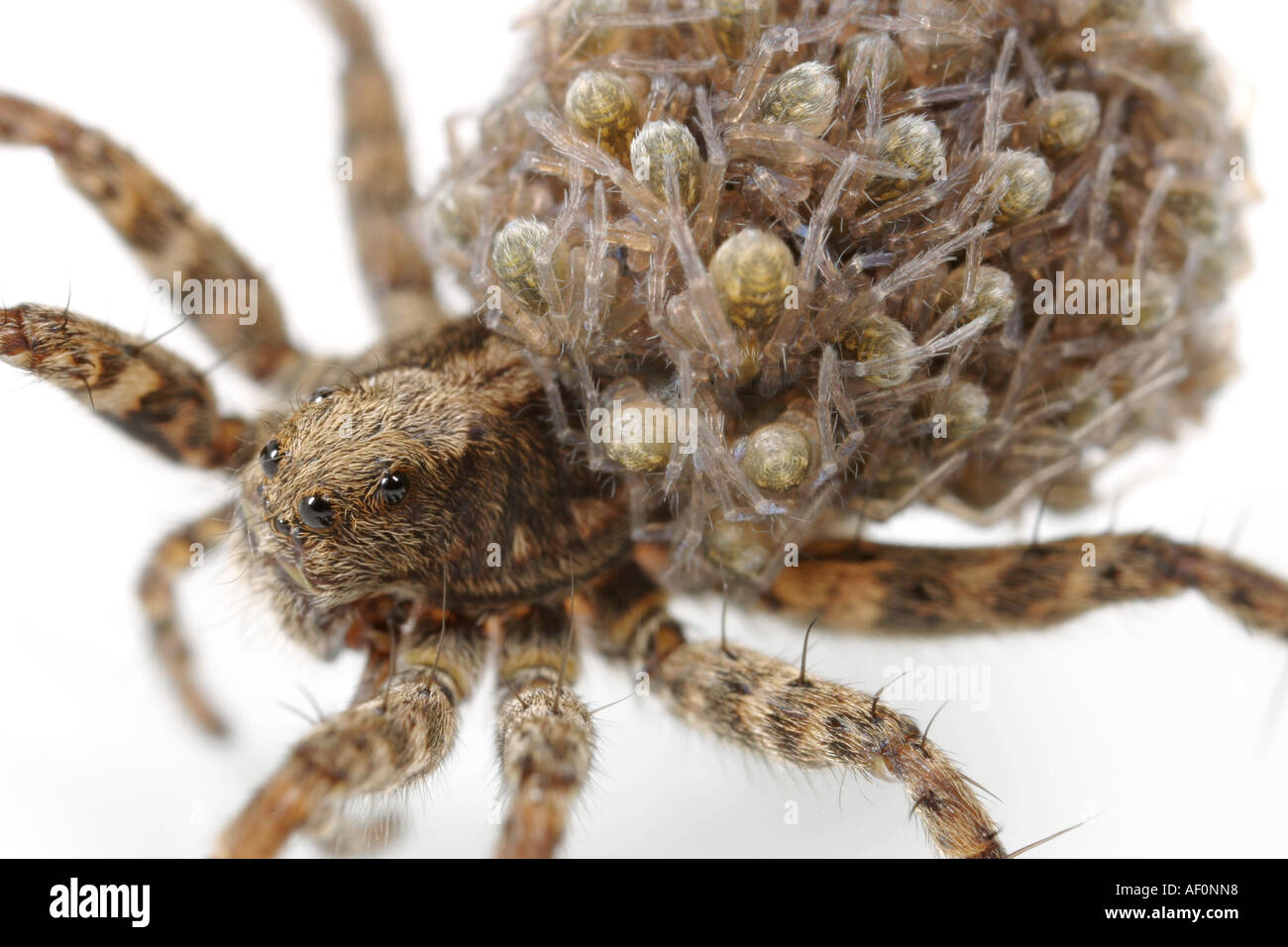 Female Wolf Spider carrying her babies on her back for a few days after they are born Stock Photo