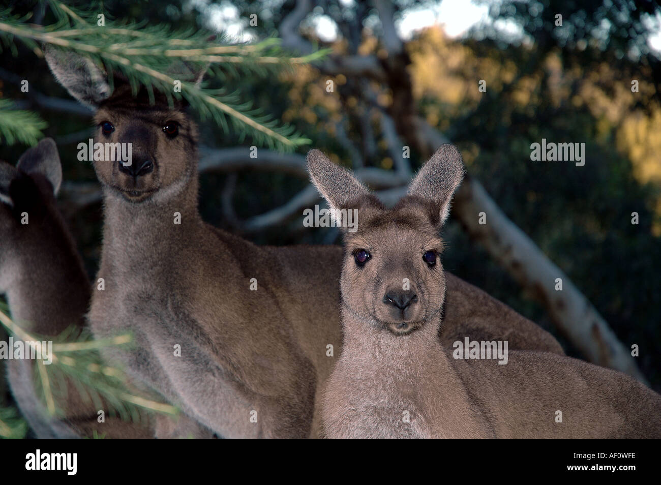 Mob of Western grey kangaroos Macropus fuliginosus John Forrest National Park Darling Ranges Perth Western Australia - Stock Image
