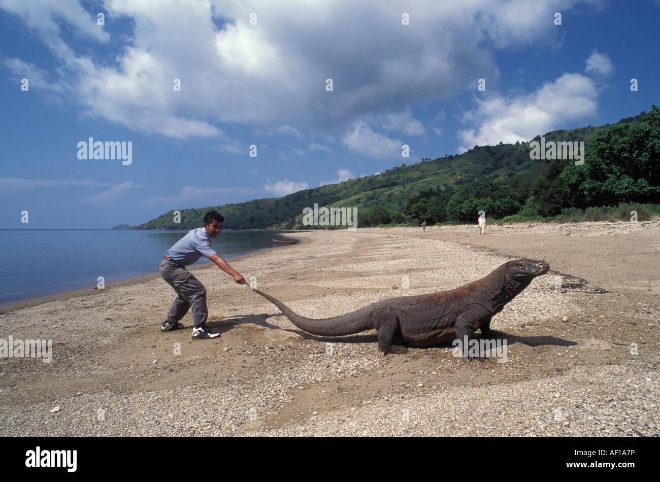 Komodo dragon (Varanus komodoensis) on beach, tail being pulled by ranger - Stock Image