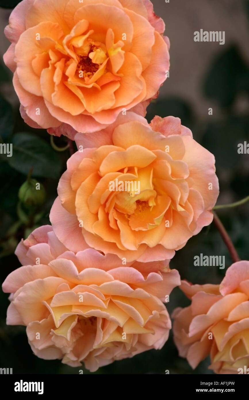Apricot roses - Stock Image
