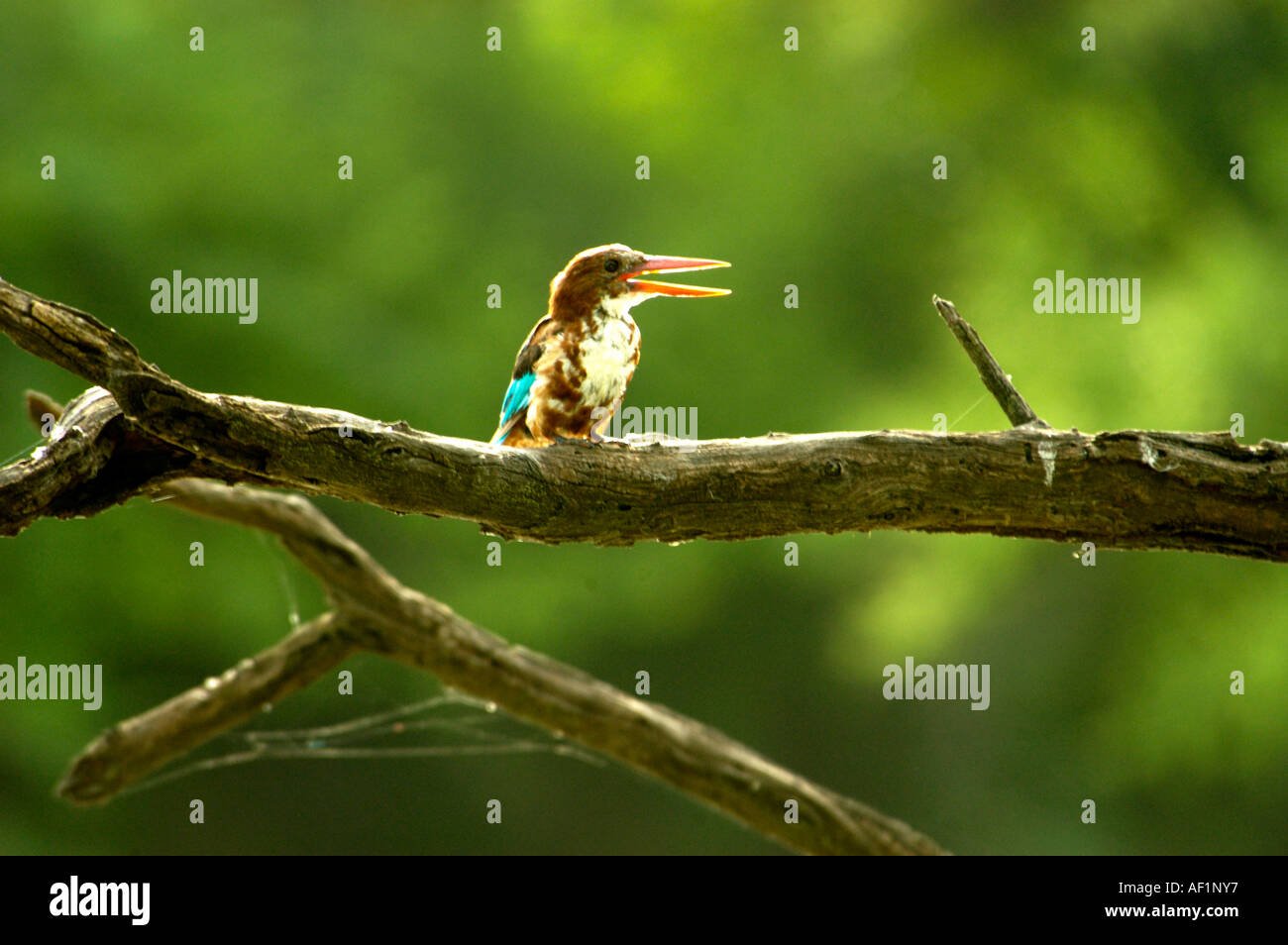WHITE BREASTED KINGFISHER IN BHARATPUR BIRD SANCTUARY RAJASTHAN - Stock Image