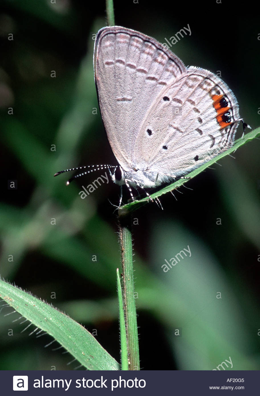 INDIAN CUPID LYCAENIDAE SOUTH INDIA Stock Photo: 7888388 - Alamy