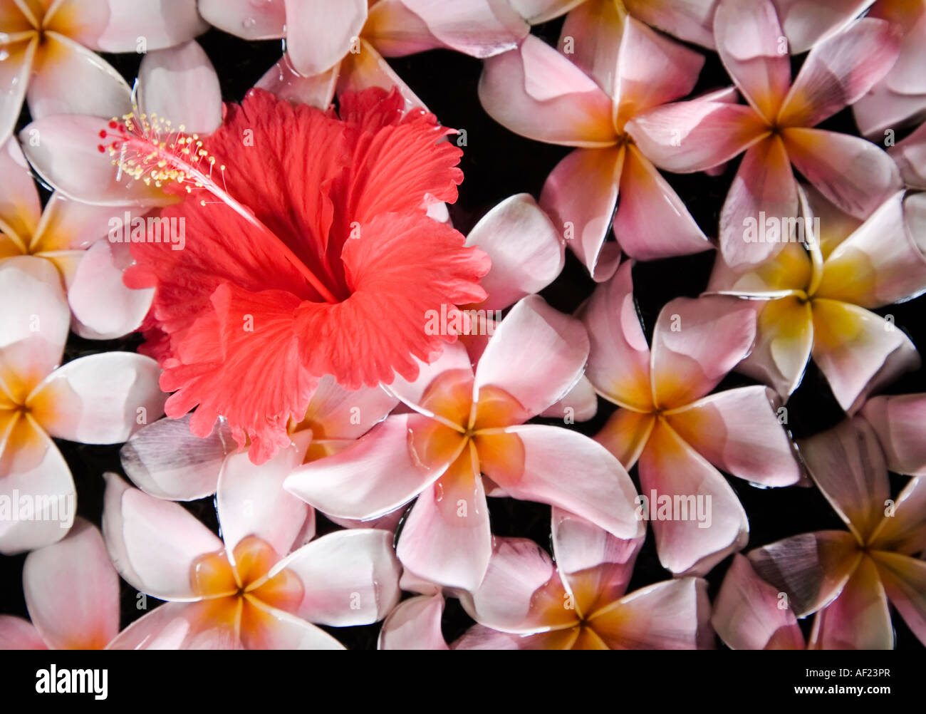 A Red Hibiscus Flower Blooming Amidst A Pink Flower Arrangement In