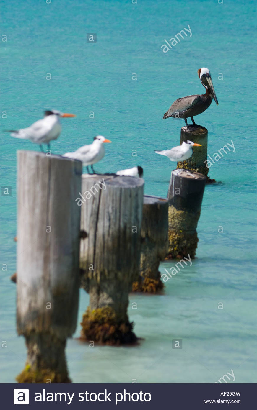 Pelican and seagulls perched on mooring posts at Dickenson Bay, Antigua, Caribbean - Stock Image