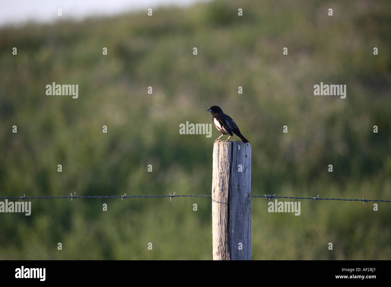 Lark Bunting on fence post in scenic Saskatchewan Canada - Stock Image