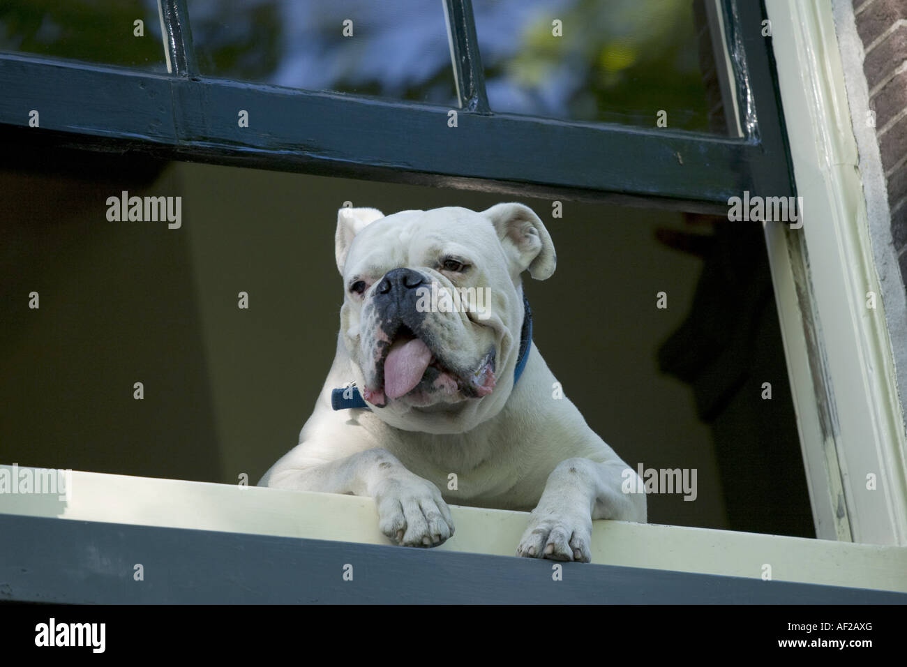 English bulldog (Canis lupus f. familiaris), looking out of window ...