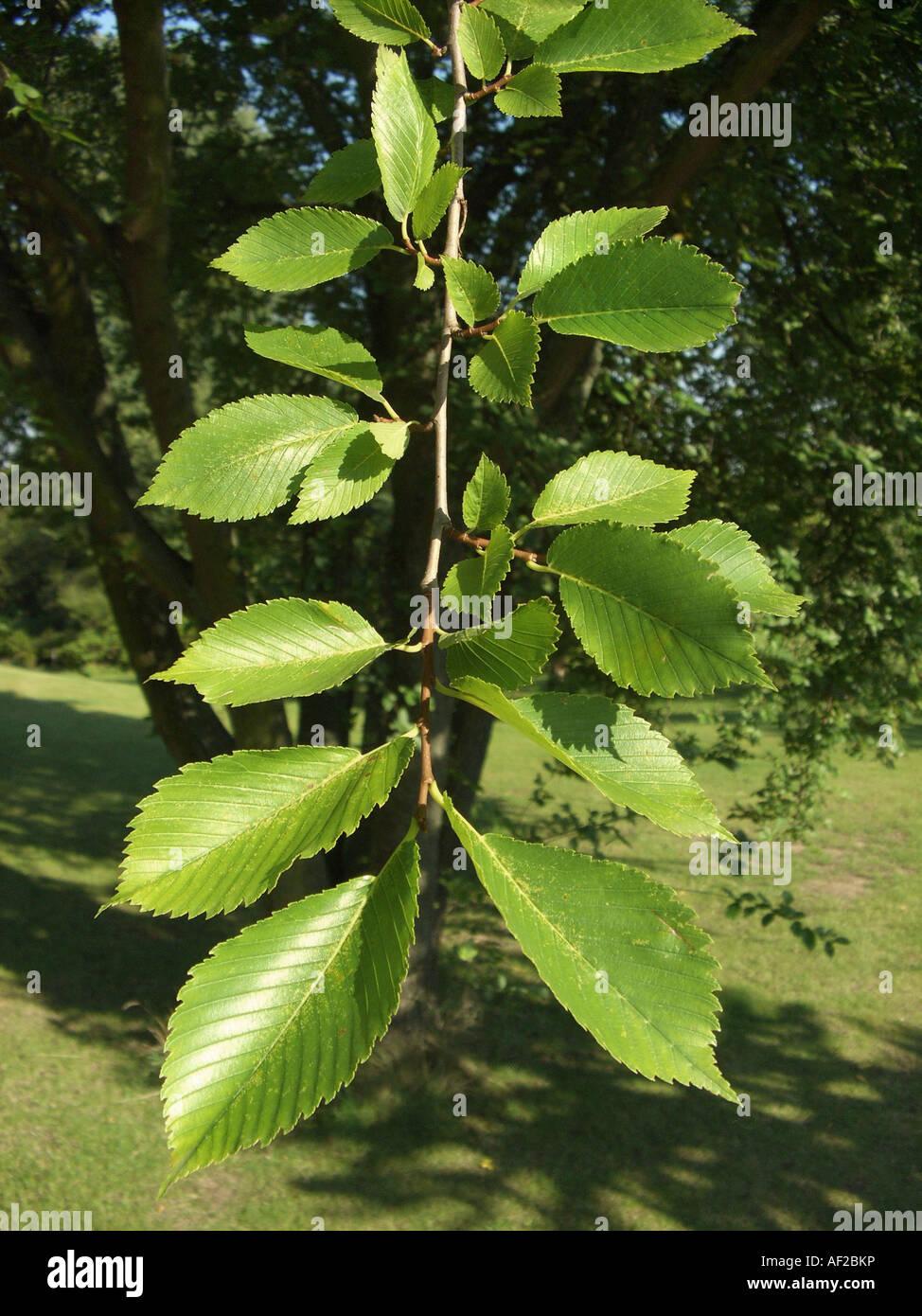 Ulmus Americana Twig American Elm Tr...