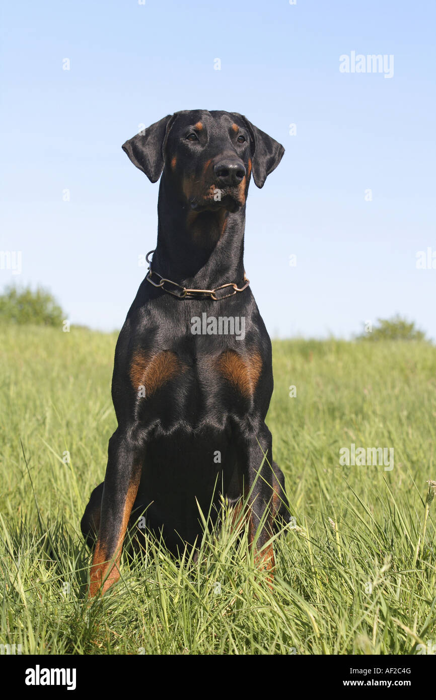 Dobermann (Canis lupus f. familiaris), portrait of a sitting single animal - Stock Image