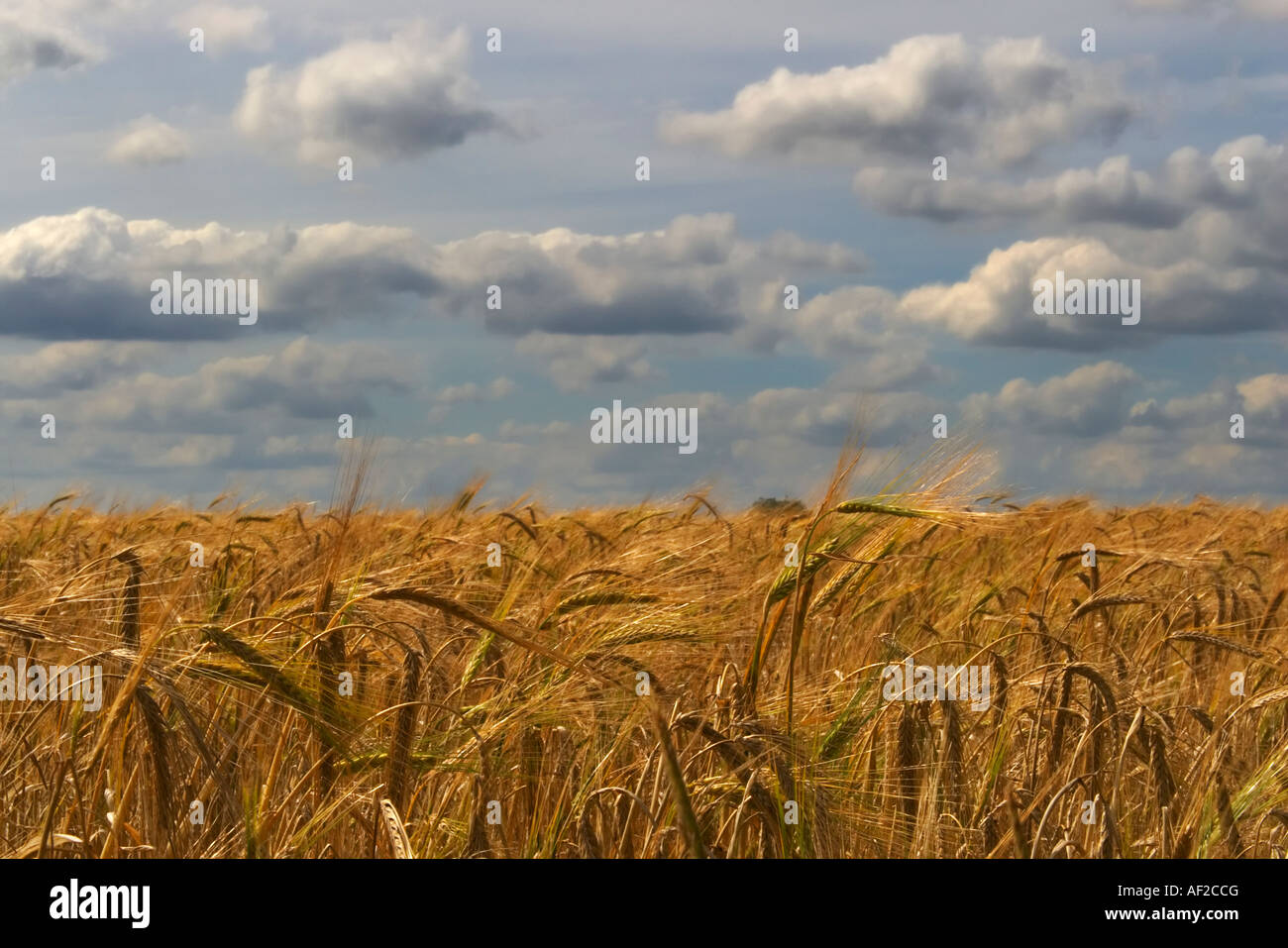 A field of wheat set against a cloudy sky - Stock Image