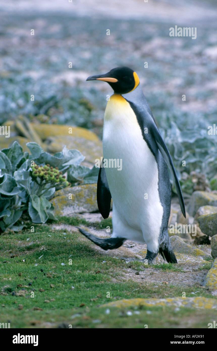 King Penguin aptenodytes patagonicus Falkland Islands - Stock Image