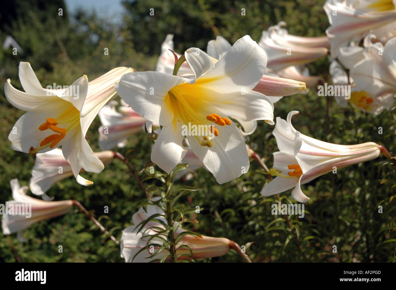 Regal Lily Lilium Regale Flower Also Called Royal Lily Stock Photo