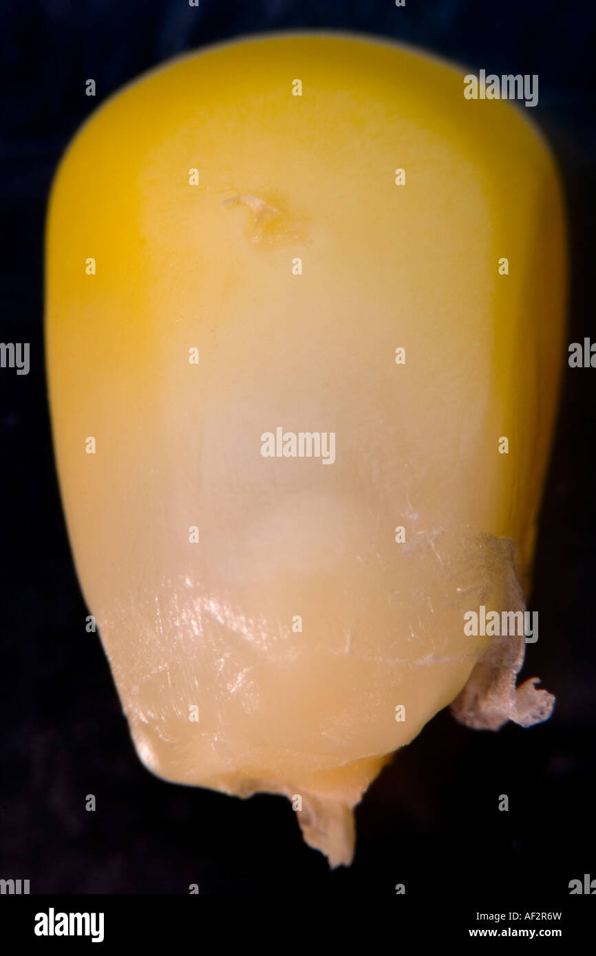 Steam Cooked Corn Kernel at 20x magnification - Stock Image