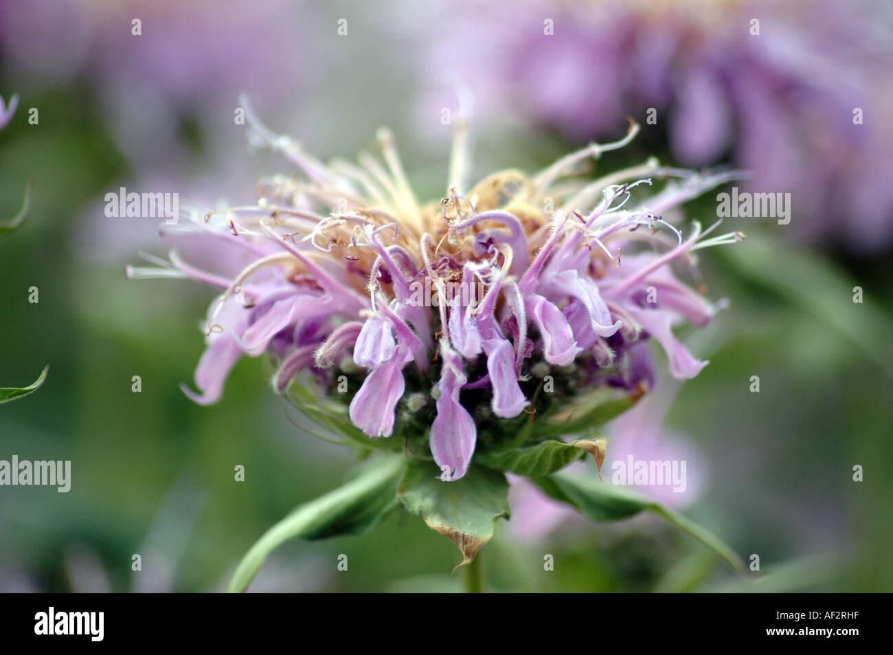 Scarlet Beebalm Monarda didyma also called Oswego Tea or Bergamot Stock Photo