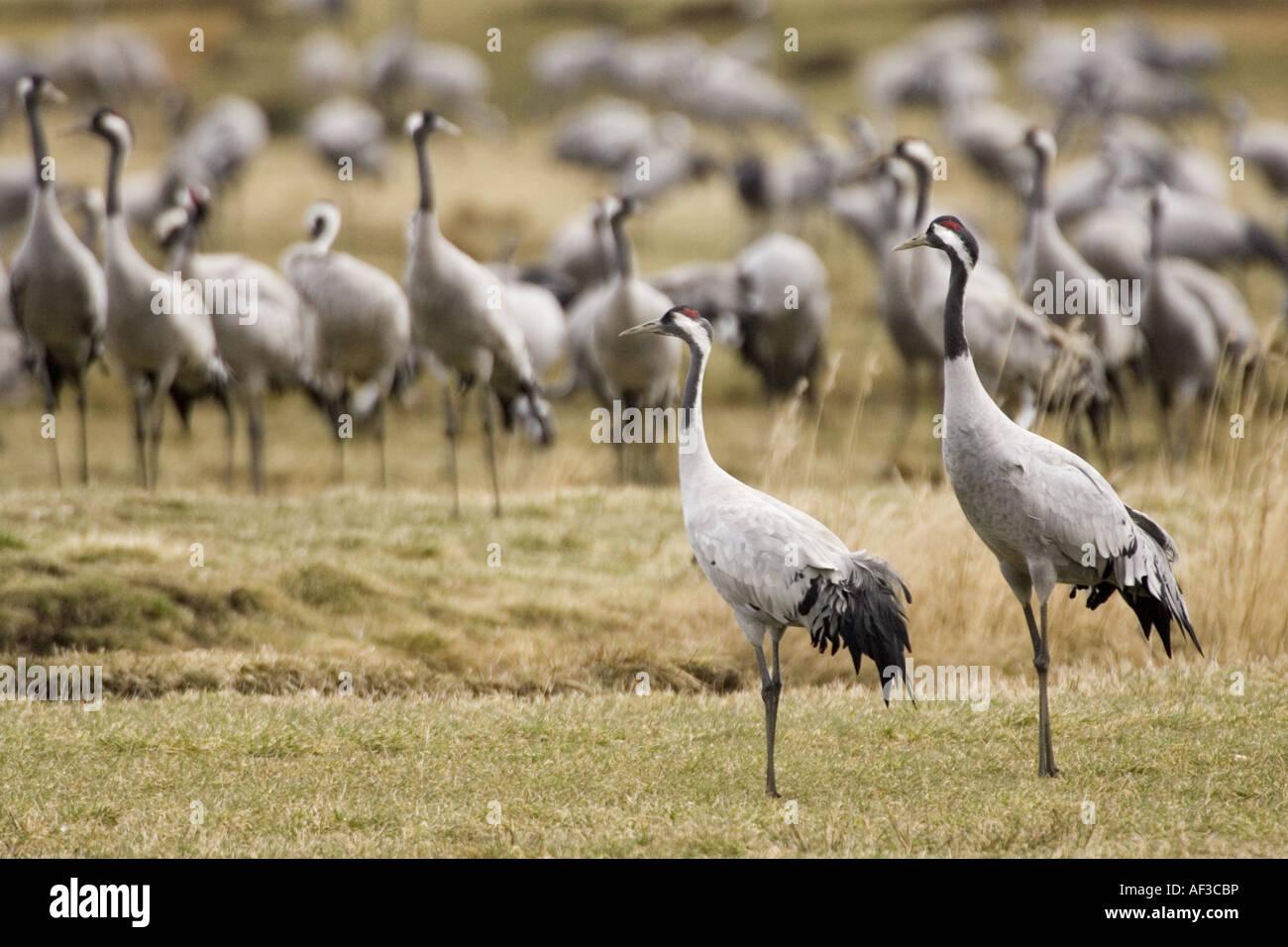 common crane (Grus grus), flock at resting place, Sweden, Hornborgasjoen - Stock Image
