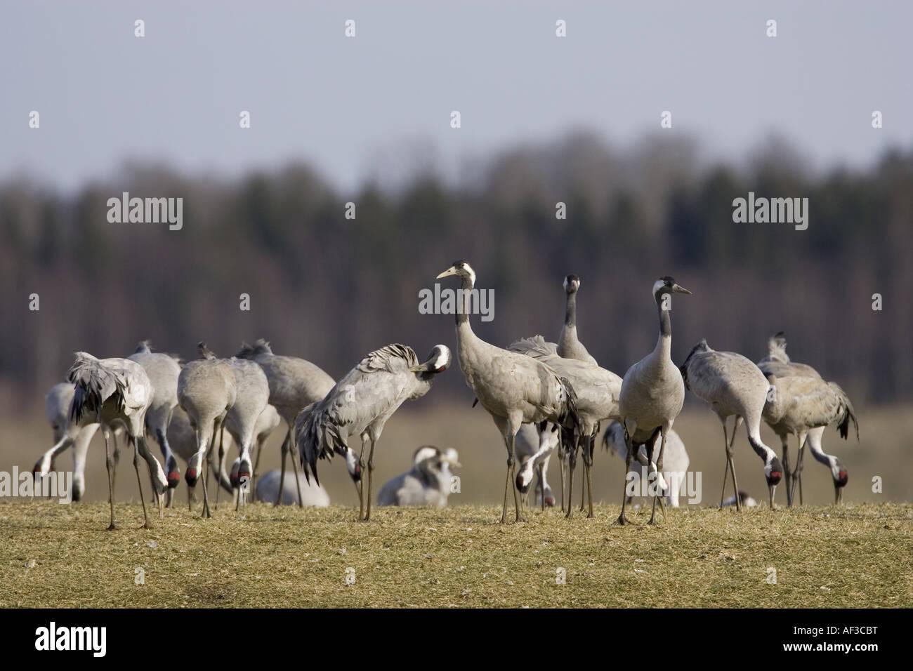 common crane (Grus grus), flock on meadow, Sweden, Hornborgasjoen - Stock Image