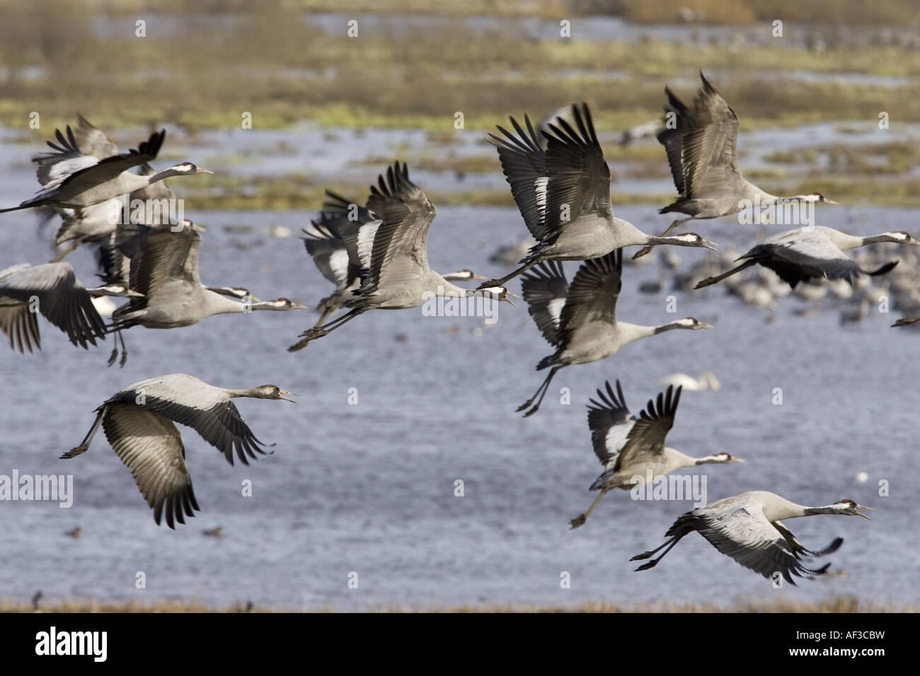 common crane (Grus grus), flying group, Sweden, Hornborgasjoen - Stock Image